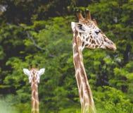 Cabeza de la jirafa con el cuello sobre fondo verde Fotos de archivo libres de regalías