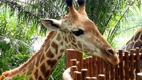 Cabeza de la jirafa en el parque zoológico animal imagenes de archivo