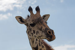 Cabeza de la jirafa en primer Foto de archivo