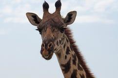 Cabeza de la jirafa en primer Fotografía de archivo libre de regalías