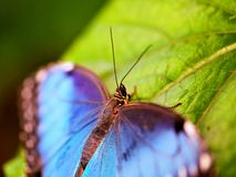 Cabeza de la mariposa, Morpho azul, macro Foto de archivo