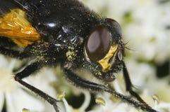 Cabeza de la mosca con polen Fotografía de archivo libre de regalías
