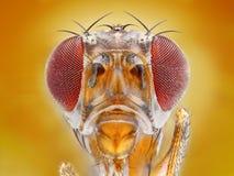 cabeza de la mosca del vinagre   fotografía de archivo