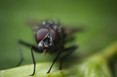 Cabeza de la mosca doméstica foto de archivo libre de regalías