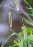 Cabeza de la semilla de la hierba del Wildflower Fotografía de archivo libre de regalías