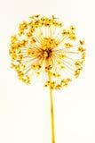 Cabeza de la semilla del allium Foto de archivo libre de regalías