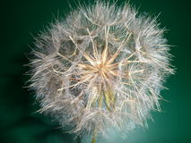 Cabeza de la semilla del diente de león - detalle Fotografía de archivo