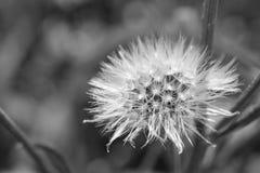 Cabeza de la semilla del diente de león en blanco y negro Foto de archivo