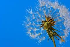 Cabeza de la semilla del diente de león (officinale del Taraxacum) contra el cielo azul claro Imagen de archivo