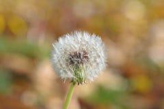 Cabeza de la semilla del diente de león en otoño foto de archivo