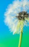 Cabeza de la semilla del salsifí Imágenes de archivo libres de regalías