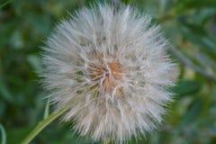 Cabeza de la semilla del salsifí amarillo (dubius del Tragopogon), primer Fotografía de archivo
