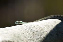 Cabeza de la serpiente Verde-manchada de Bush Imágenes de archivo libres de regalías