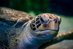 Cabeza de la tortuga Imagen de archivo