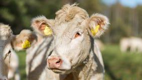Cabeza de la vaca Foto de archivo libre de regalías