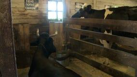 Cabeza de la vaca en su cierre del prado encima de la visión almacen de metraje de vídeo