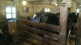 Cabeza de la vaca en su cierre del prado encima de la visión almacen de video