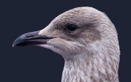 Cabeza de las gaviotas Fotografía de archivo