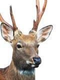 Cabeza de los ciervos de Sika imágenes de archivo libres de regalías