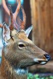 Cabeza de los ciervos de Sika fotos de archivo