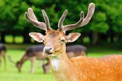cabeza de los ciervos en barbecho Fotos de archivo
