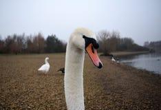 Cabeza de los cisnes Fotografía de archivo libre de regalías