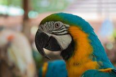 Cabeza de los Macaws con la cuenta gruesa Fotografía de archivo libre de regalías