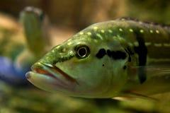 Cabeza de los pescados Fotografía de archivo