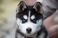 Cabeza de ojos azules del perrito del husky siberiano headshot femenino viejo de 8 semanas con el fondo del correo púrpura y de l imagenes de archivo