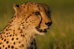 Cabeza de oro del guepardo en la puesta del sol imagen de archivo libre de regalías