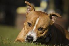 Cabeza de perro Imagen de archivo