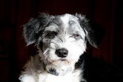 Cabeza de perro blanco y negro del retrato imágenes de archivo libres de regalías