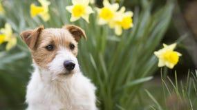 Cabeza de perro casero linda con las flores de pascua en primavera imagen de archivo libre de regalías
