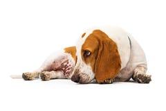 Cabeza de perro de Basset Hound abajo Foto de archivo