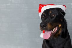 Cabeza de perro francesa con la lengua que cuelga hacia fuera en el sombrero de Papá Noel, copyspace Imagen de archivo libre de regalías