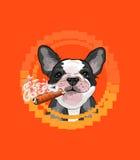 Cabeza de perro linda con un cigarro cubano Imagen de archivo libre de regalías
