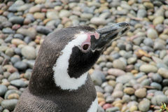Cabeza de Pinguin Foto de archivo libre de regalías