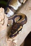 Cabeza de Python con el cuello Imagen de archivo libre de regalías
