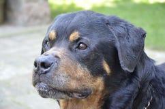 Cabeza de Rottweiler Imagenes de archivo