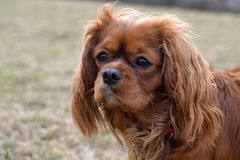 Cabeza de rubíes arrogante linda del detalle del perro de aguas de rey Charles fotos de archivo