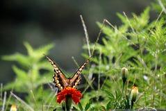 Cabeza de Swallowtail encendido Fotos de archivo libres de regalías
