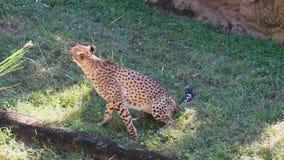 Cabeza de torneado del guepardo y el caminar en prado verde en los jardines de Busch almacen de video