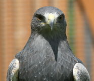 Cabeza de un águila del gris [ ] [melanoleucus de Geranoaetus, syn : Melanoleucus del Buteo] Imagen de archivo libre de regalías