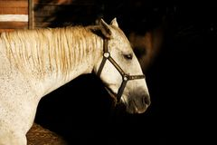Cabeza de un caballo blanco Foto de archivo