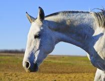 Cabeza de un caballo blanco en un fondo del campo Imagen de archivo