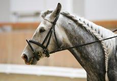 Cabeza de un caballo de la doma en la acción Fotos de archivo libres de regalías