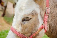 Cabeza de un caballo del color marrón Fotografía de archivo libre de regalías