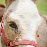 Cabeza de un caballo del color marrón Imágenes de archivo libres de regalías