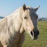 Cabeza de un caballo gris hermoso imagen de archivo libre de regalías