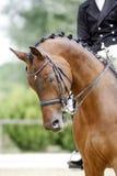 Cabeza de un caballo joven de la doma con el jinete desconocido en la acción Foto de archivo libre de regalías